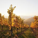 Vineyards in Autumn at Sunset, Stuttgart, Baden-Wurttemberg, Germany, Europe Lámina fotográfica por Markus Lange