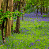 Bluebells, High Littleton Woods, Somerset, England, United Kingdom, Europe Photographic Print by Bill Ward