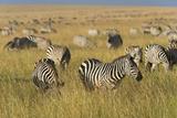 Plains Zebras (Equus Quagga), Masai Mara, Kenya, East Africa, Africa Photographic Print by Sergio Pitamitz
