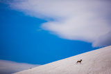 Big Horn Sheep, Glacier National Park, Montana, United States of America, North America Photographic Print by Laura Grier