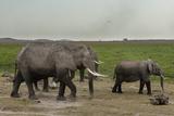 African Elephants (Loxodonta Africana), Amboseli National Park, Kenya, East Africa, Africa Photographic Print by Sergio Pitamitz
