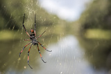Golden Silk Orb Weaver Spider (Nephila) on its Web, Perinet Reserve Photographic Print by Matthew Williams-Ellis