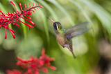 Adult Male Xantus's Hummingbird (Hylocharis Xantusii), Todos Santos, Baja California Sur Papier Photo par Michael Nolan