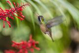 Adult Male Xantus's Hummingbird (Hylocharis Xantusii), Todos Santos, Baja California Sur Photographic Print by Michael Nolan