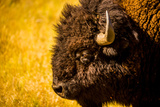 Portrait of an American Buffalo, Buffalo Round Up, Custer State Park, Black Hills, South Dakota Photographic Print by Laura Grier