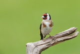 Goldfinch (Carduelis Carduelis) Garden Bird, Perched on a Tree Stump, Cheshire Photographic Print by Garry Ridsdale