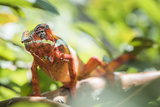 Red Panther Chameleon (Furcifer Pardalis), Endemic to Madagascar, Africa Photographic Print by Matthew Williams-Ellis