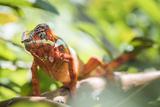 Red Panther Chameleon (Furcifer Pardalis), Endemic to Madagascar, Africa Photographic Print by Matthew Williams-Ellis