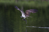Osprey (Pandion Haliaetus) Leaving a Small Loch with a Fish in its Talons, Scotland, United Kingdom Papier Photo par Garry Ridsdale