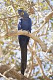 Hyacinth Macaw (Anodorhynchus Hyacinthinus) (Hyacinthine Macaw), Brazil, South America Photographic Print by Alex Robinson