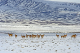 Guanaco (Lama Guanicoide), Patagonia, Argentina, South America Photographic Print by Pablo Cersosimo