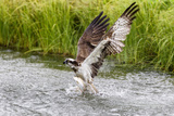 Osprey (Pandion Haliaetus) Exiting a Small Pond with its Huge Wings Extended Papier Photo par Garry Ridsdale