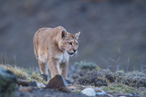 Puma (Puma Concolor) (Wild Puma), Patagonia, Chile, South America Photographic Print by Pablo Cersosimo