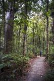 Tourist Exploring Waipoua Kauri Forest, Northland Region, North Island, New Zealand, Pacific Photographic Print by Matthew Williams-Ellis