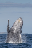 Adult Humpback Whale (Megaptera Novaeangliae), Breaching in the Shallow Waters of Cabo Pulmo Photographic Print by Michael Nolan