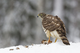 Juvenile Goshawk (Accipiter Gentilis) in Snow with its Prey Beneath Talons Photographic Print by Garry Ridsdale