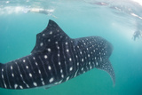 Whale Shark (Rhincodon Typus), Underwater with Snorkelers Off El Mogote, Near La Paz Photographic Print by Michael Nolan