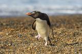 Rockhopper Penguin (Eudyptes Crestatus), Patagonia, Argentina, South America Photographic Print by Pablo Cersosimo