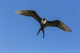 Adult Female Magnificent Frigatebird (Fregata Magnificens), San Gabriel Bay, Espiritu Santo Island Photographic Print by Michael Nolan