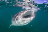 Whale Shark (Rhincodon Typus), Filter Feeding Underwater Off El Mogote, Near La Paz Photographic Print by Michael Nolan