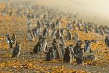Magellanic Penguins (Spheniscus Magellanicus), Patagonia, Argentina, South America Photographic Print by Pablo Cersosimo