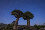 Quiver Trees (Kokerboom) (Aloe Dichotoma) under a Night Sky Near Springbok, Northern Cape Photographic Print by Alex Treadway