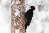 Black Woodpecker (Dryocopus Martius) Photographic Print by Garry Ridsdale