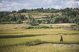Lady in Rice Paddy Fields on Rn7 (Route Nationale 7) Near Ambatolampy in the Central Highlands Photographic Print by Matthew Williams-Ellis