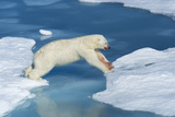 Male Polar Bear (Ursus Maritimus) Jumping over Ice Floes and Blue Water Photographic Print by G&M Therin-Weise