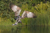 Osprey (Pandion Haliaetus) Leaving a Fishing Pool with Wings Arched Papier Photo par Garry Ridsdale