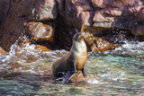 Adult California Sea Lion (Zalophus Californianus), at Los Islotes, Baja California Sur Photographic Print by Michael Nolan