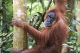 Female Orangutan (Pongo Abelii) in the Jungle Near Bukit Lawang, Gunung Leuser National Park Photographic Print by Matthew Williams-Ellis