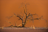 Acacia Tree in Front of Dune 45 in the Namib Desert at Sunset, Sossusvlei, Namib-Naukluft Park Photographic Print by Alex Treadway