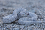 Ash Colored Morph of the Endemic Rattleless Rattlesnake (Crotalus Catalinensis) Photographic Print by Michael Nolan