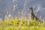An Adult Female Willow Ptarmigan (Lagopus Lagopus) in Summer Plumage on the Snaefellsnes Peninsula Photographic Print by Michael Nolan
