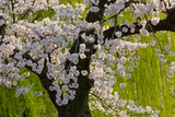 Beautiful Cherry Blossom and Willow in Ueno Park, Tokyo, Japan, Asia Photographic Print by Martin Child
