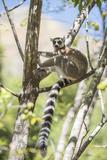 Ring-Tailed Lemur (Lemur Catta), Isalo National Park, Ihorombe Region, Southwest Madagascar, Africa Fotografisk trykk av Matthew Williams-Ellis