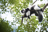 Black and White Ruffed Lemur (Varecia Variegata), Endemic to Madagascar, Seen on Lemur Island Photographic Print by Matthew Williams-Ellis