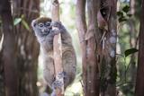 Lac Alaotra Bamboo Lemur (Hapalemur Alaotrensis), Lemur Island, Andasibe Photographic Print by Matthew Williams-Ellis