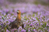 Red Grouse (Lagopus Lagopus), Yorkshire Dales, England, United Kingdom, Europe Photographic Print by Kevin Morgans