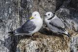Adult and Juvenile Black-Legged Kittiwakes (Rissa Tridactyla) Nesting Near Stykkishholmur Papier Photo par Michael Nolan