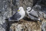 Adult and Juvenile Black-Legged Kittiwakes (Rissa Tridactyla) Nesting Near Stykkishholmur Photographic Print by Michael Nolan