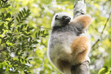 Diademed Sifaka (Propithecus Diadema), a Large Lemur in Perinet Reserve Photographic Print by Matthew Williams-Ellis