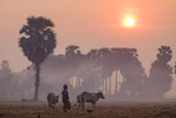 Farmer Bringing His Cows in the Fields, Kompong Thom (Kampong Thom), Kompong Thom Province Photographic Print by Nathalie Cuvelier