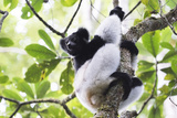 Indri (Babakoto) (Indri Indri), a Large Lemur in Perinet Reserve, Andasibe-Mantadia National Park Photographic Print by Matthew Williams-Ellis
