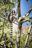 Ring-Tailed Lemur (Lemur Catta), Isalo National Park, Ihorombe Region, Southwest Madagascar, Africa Photographic Print by Matthew Williams-Ellis