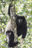 Milne-Edwards Sifaka (Propithecus Edwardsi), Ranomafana National Park, Madagascar Central Highlands Photographic Print by Matthew Williams-Ellis