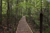 Footpath Through Waipoua Kauri Forest, Northland Region, North Island, New Zealand, Pacific Photographic Print by Matthew Williams-Ellis