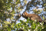 Red Bellied Lemur (Eulemur Rubriventer), Ranomafana National Park, Madagascar Central Highlands Photographic Print by Matthew Williams-Ellis