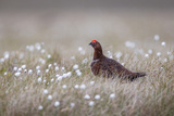 A Male Red Grouse (Lagopus Lagopus) on the Ground in North Yorkshire Moors National Park, Yorkshire Photographic Print by Garry Ridsdale